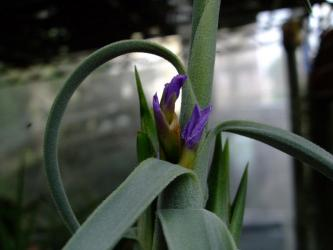 チランジア ドゥラティー(Tillandsia duratii)~の花が咲いた後の新芽は一部~紫の花が花茎伸ばさず咲いています!2012.06.30