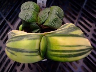 臥牛(Gasteria armstrongii)とピランシー錦(Gasteria pillansii variegata〉2012.07.03