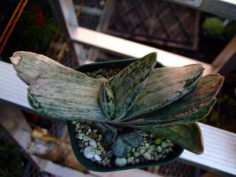 ガステリア 美鈴の富士系?(Gasteria gracilis f. variegata 'MISUZUNOFUJI' )2012.07.03