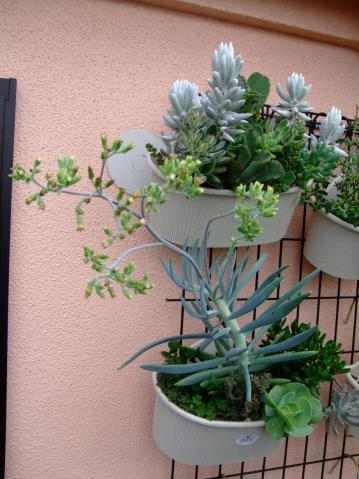 セネシオ 大型万宝・清涼刀(Senecio ficoides)とても地味な花が開花しました!2012.07.06