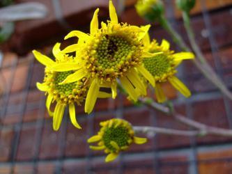 """セネシオ 新月(しんげつ)(Senecio scaposus)今年も""""ひまわり""""咲きしています♪2012.07.06"""