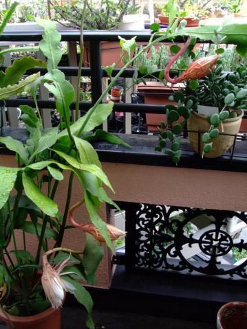 月下美人(げっかびじん)(Epiphyllum oxpetalum)七夕の朝の様子蕾パチパチ~♪2012.07.07