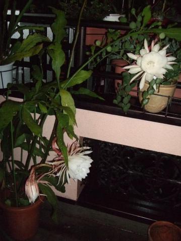 月下美人(げっかびじん)(Epiphyllum oxpetalum)七夕の夜に開花しています♪2012.07.07
