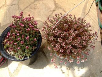 クラッスラ クーペリータイプ違い~♪(赤花と白花)~Crassula cooperi~2012.07.11