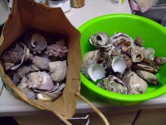 オカヤドカリさんのお宿~巻貝地道に食べて貯めました!バイ貝?つぶ貝?サザエなど~♪これから砂面を這い易いようにペンチで角を取ります。2012.07.12