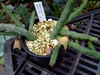 ガガイモ科 トリデンテア属 バイリシー(Asclepiadaceae Tridentea baylissii) 雨の後、蕾と花が下向きに咲いています♪2012.07.14