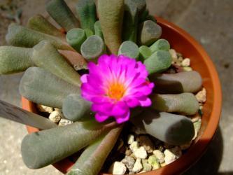 フリチア  晃(光)玉(こうぎょく)(Frithia pulchra)ピンク花 開花しています♪2012.07.16