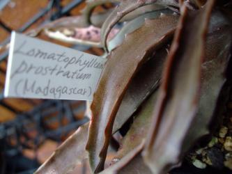 アロエの近縁種~ロマトフィルム プロストラツム(Lomatophyllum prostratum)  こげ茶色のシックな葉色~2012.08.04