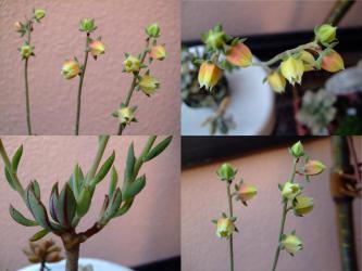 エケベリア 紅司(べにつかさ)(Echeveria nodulosa)開花しました♪2012.07.26