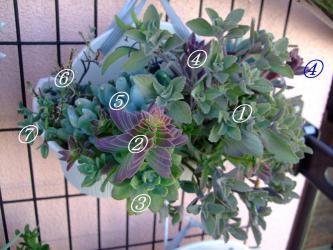 多肉植物いろいろ寄せ植えプレクトランサスが茂ってこんもりしてきました♪~エケベリア、クラッスラ、コチレドン、セネシオ、プレクトランタス、デロスペルマなど~その後2012.07.31