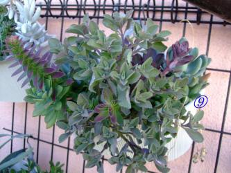 多肉植物いろいろ寄せ植えプレクトランサスが茂ってこんもりしてきました♪~エケベリア、クラッスラ、コチレドン、セネシオ、プレクトランタサス、デロスペルマなど~その後2012.07.31