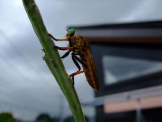 2階のベランダ~孔雀サボテンの葉に停まるちょっと!コワ~イ昆虫~2012.08.04