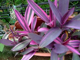 ■セトクレアセア 紫御殿(ムラサキゴテン)斑入り種(Setcreasea pallida cv. purple heart Variegata)2012.08.04