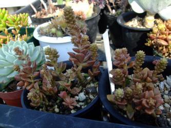 Sedum caducum(カドゥカム) 寒さにも耐え暑さにも耐え今年は雨が少ない真夏も元気です。花芽が上がり始め~♪2012.08.13
