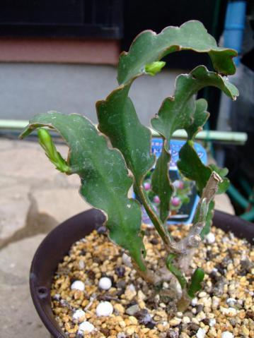 ミニドラゴンフルーツ=エピフィルム フィランツス(Epiphyllum phyllanthus)一回り大きい根土に植え替えたら葉芽かと思ったら花芽になりました♪2012.08.17