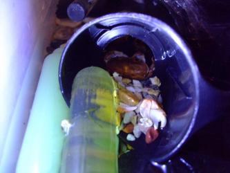 生き残りの沢蟹さん~姿が見えないと思っていたら脱皮していたようです!手前に抜け殻の爪が転がっています~奥にいました!2012.08.18