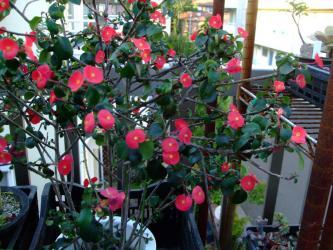 ユーフォルビア ゲロルディー(Euphorbia geroldii)原産地~北東マダガスカル~2012.08.20