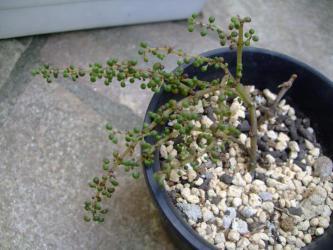 """ピレア セルフィラケア グロボーサ(露鏡)Pilea serpyllacea """"Globosa"""" 2年目の夏・・・赤いワタムシがいて痛んだ枝を整理すると・・・こんなに小さくなってしまいました。じり瀕です(´ヘ`;)2012.08.26"""