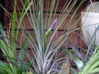 チランジア ジュンセア(Tillandsia juncea) ~キレイな紫の花芽が上がってきました~♪2012.08.26