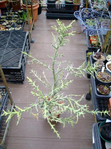 ユーフォルビア ステノクラーダ(Euphorbia stenoclada)~銀角珊瑚(ぎんつのさんご)2012.08.29