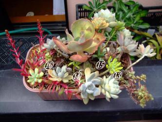 多肉寄せ植え~16品種植えてあります。真夏の陽射しに少々葉焼け気味(´ヘ`;)2012.08.31