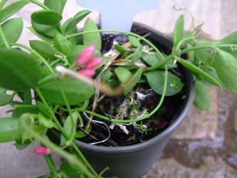 ディスキディア ペクテノイデス(Dischidia pectenoides) カンガルーポケット~種鞘が弾けて発芽しています♪2012.09.01