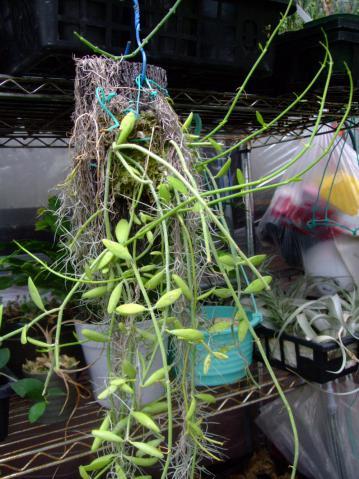 ディスキディア ベンガレンシス(Dischidia bengalensis)2012.09.01