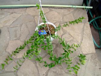 ホヤ クミンギアナ(Hoya cumingiana)原産地:マレーシア・フィリピン2012.09.03
