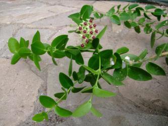 ホヤ クミンギアナ(Hoya cumingiana)原産地:マレーシア・フィリピン~一輪だけ開花しました!2012.09.03