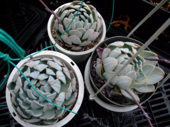 エケベリア ラウリンゼ(Echeveria'Laulindsa' )~ラウィー(E.lauii)×リンゼアナ(E.lindsayana)の交配種。水キレでクリクリ~♪2012.09.04