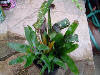 ブロメリア カトプシス モーレニアナ(Catopsis morreniana) (Bromeliaceae Tillandsioideae パイナップル科チランジア亜科) 左手前:花芽上がっています♪2012.09.10