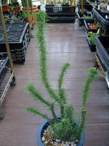 ユーフォルビア ゴットレベイ(Euphorbia gottlebei)原産地:マダガスカル~緑の爽やかなもじゃもじゃ細葉♪2012.09.06