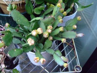 イースターカクタスの果実~デラウェアぶどうくらいの大きさw201209.04
