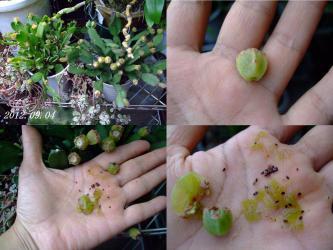 イースターカクタス(Epiphyllopsis gaertneri)= (Rhipsalidopsis gaertneri)= (easter cactus)の実&種♪~2012.09.04