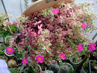 春には咲かなかった斑入りのポーチュラカ♪やっと咲き始めました!2012.09.09