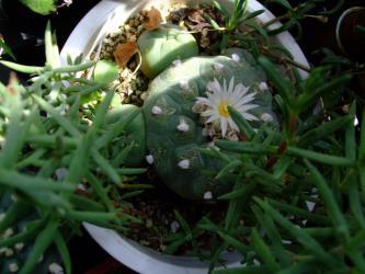ロフォフォラ ディフューサ(翠冠玉)(Lophophora diffusa) 雑草交じりの中でひっそり~咲いています♪2012.09.09