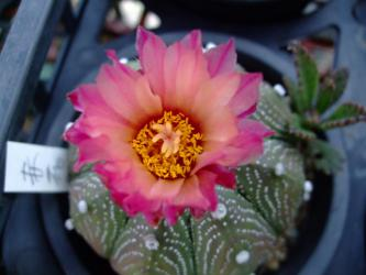 アストロフィツム 赤花兜(あかばなかぶと)(Astrophytum asterias cv.) 開花~2012.09.13