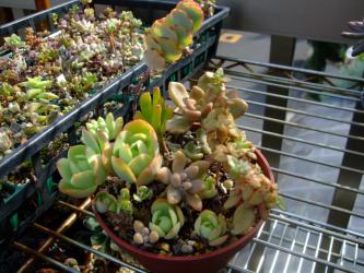 多肉植物~2年くらいそのままの葉挿し寄せ植え、左横:葉挿しバッド2012.09.18