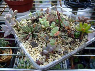 多肉植物~葉挿し苗いろいろ~♪無造作ですがいろいろ植わっています♪2012.09.18