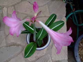 シロズジアマリリス(Hippeastrum reticulatum var. striatifolium)開花中~2012.09.20