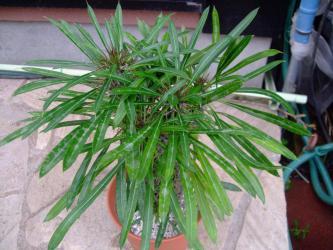 パキポディウム ラミエリー=ラメリーちょっとセッカ?しています。(Pachypodium lamerei forma cristata)2012.09.23