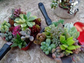 100円SPのミニおもちゃ~ミニシェフセットに多肉植物を植えてみました~♪2012.09.21