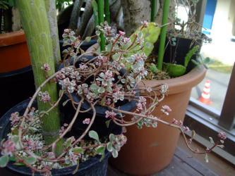 セダム コーカサス麒麟草(Sedum spurium)&幹はセネシオ モンキーツリー2012.10.02