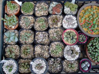 冬型高度玉型メセン~コノフィツム、リトープス、などなど休眠開けですが、生育が思わしくないので根土を調べて株分け、挿し木などして植え替えました。(´ヘ`;)2012.09.28