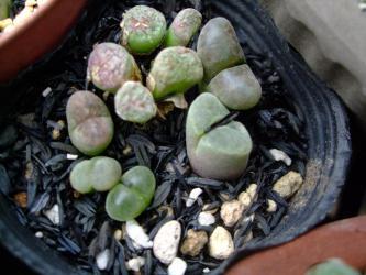 コノフィツムなどなど植え替え中ポロリ外れてしまった球体茎を際まで切り戻し挿し木しました♪2012.09.28