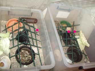 左:小オカヤドカリ~ハウス、右:大オカヤドカリ~ハウス、3匹地上にいます。2012.09.30
