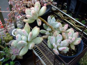 パキフィツム 桜美人(さくらびじん) (Pachyphytum cv. SAKURABIJIN?)が木になりはじめました~♪2012.10.02