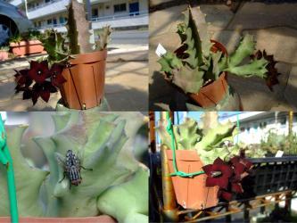 カラルマ メラナンサ(Caralluma melanantha)=オルベア メラナンサ(Orbea melanantha)ものすごい臭いを発しながら・・・開花中(´ヘ`;)2012.10.04