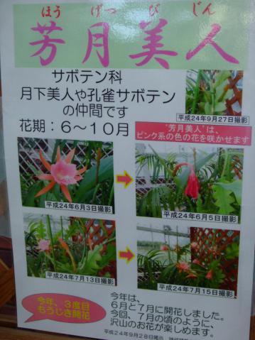 芳月美人~月下美人(Epiphyllum )の仲間~ピンクオレンジの小輪花たくさん咲いていました!~神代植物公園大温室~2012.10.07