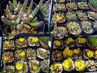 グロッチフィルム 不明種?妖女(ようじょ)(Glottiphyllum parvifolium)開花しました♪2012.10.13